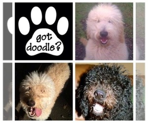Goldendoodle Breeder in HERNANDO, MS