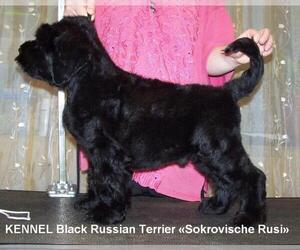 Main photo of Black Russian Terrier Dog Breeder near ATLANTA, GA, USA