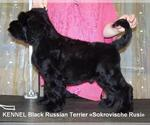 Black Russian Terrier Breeder in ATLANTA, GA, USA