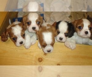 Cavalier King Charles Spaniel Breeder in MINNEAPOLIS, MN