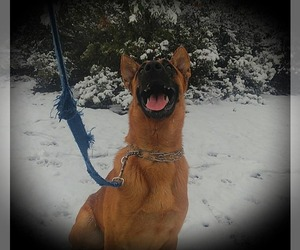 Belgian Malinois Dog Breeder in PASKENTA,  USA