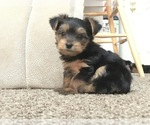 Morkie-Yorkshire Terrier Breeder in FERNANDINA BEACH, FL, USA