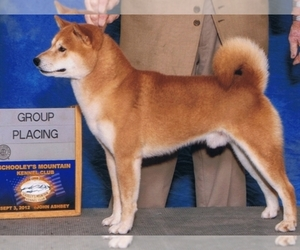 Shiba Inu Breeder in GREENWOOD LAKE, NY, USA