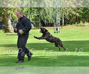 Main photo of Dutch Shepherd Dog Dog Breeder near SPENCERVILLE, IN, USA