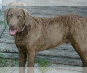 Chesapeake Bay Retriever Dog Breeder near ASTOR, FL, USA