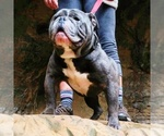 Olde English Bulldogge Breeder in MANSFIELD, OH, USA