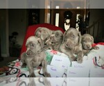 Weimaraner Breeder in GREENBANK, PA, USA