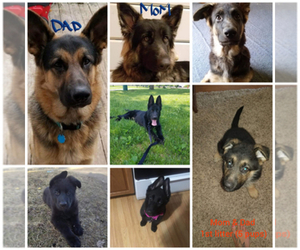 Main photo of German Shepherd Dog Dog Breeder near WALKERTON, IN, USA