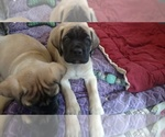 Mastiff Breeder in HAMBURG, PA, USA