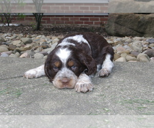 English Springer Spaniel Dog Breeder near ATWATER, OH, USA
