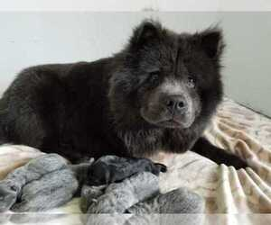 Main photo of Chow Chow Dog Breeder near SAPULPA, OK, USA