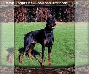 Doberman Pinscher Dog Breeder near GRANT, MI, USA