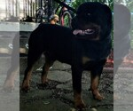 Rottweiler Breeder in MASSILLON, OH, USA