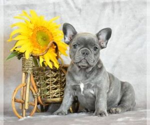 Main photo of French Bulldog Dog Breeder near Bobrytsya, Kyiv, Ukraine
