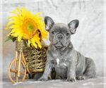 French Bulldog Breeder in Bobrytsya, UA.13, Ukraine