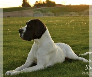 Great Dane Dog Breeder near CALDWELL, ID, USA