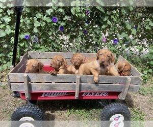 Vizsla Dog Breeder near TUSCOLA, TX, USA