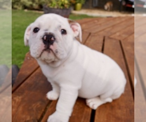 Main photo of Bulldog Dog Breeder near BLUE MOUND, TX, USA