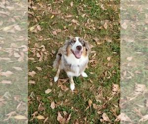 Main photo of Australian Shepherd Dog Breeder near WEST PLAINS, MO, USA
