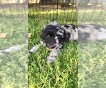 Labradoodle Breeder in RIPON, CA, USA