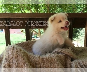 Main photo of Pomsky Dog Breeder near GRASS VALLEY, CA, USA