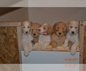 Goldendoodle Breeder in LAWRENCEVILLE, GA