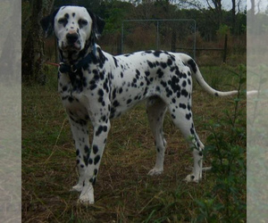 Dalmatian Dog Breeder near MERRITT IS, FL, USA