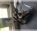 Schnauzer (Miniature) Breeder in WHITE HOUSE, TN, USA