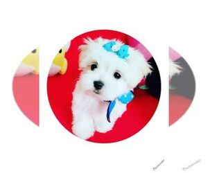 Main photo of Poodle (Toy) Dog Breeder near LEWISVILLE, TX, USA
