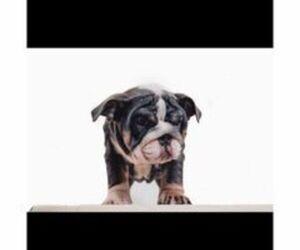 English Bulldog Dog Breeder in WORCESTER,  USA