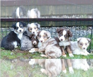Miniature Australian Shepherd Dog Breeder in BORING,  USA