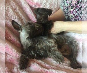 Schnauzer (Miniature) Breeder in AFTON, OK, USA