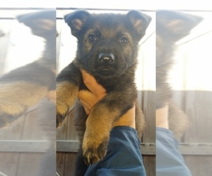 German Shepherd Dog Dog Breeder in CONGERS,  USA