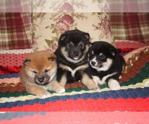 Main photo of Shiba Inu Dog Breeder near PEMBROKE, KY, USA
