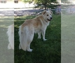 Alaskan Malamute-Great Pyrenees Breeder in RENO, NV, USA