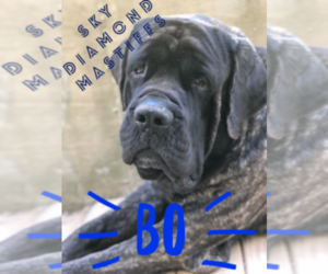 Mastiff Dog Breeder in PIKETON,  USA