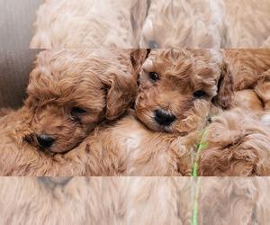 Goldendoodle Dog Breeder in SACRAMENTO,  USA