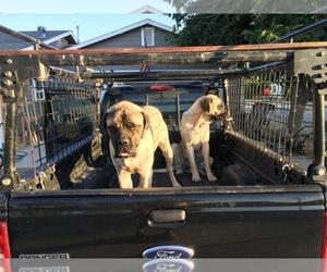 Main photo of Mastiff Dog Breeder near MARICOPA, CA, USA