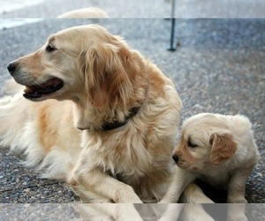 Main photo of Golden Retriever Dog Breeder near EAST BETHEL, MN, USA
