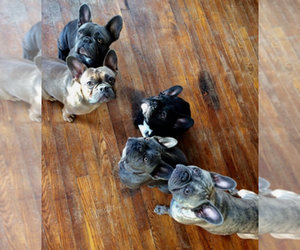 French Bulldog Breeder in CEDAR RAPIDS, IA, USA