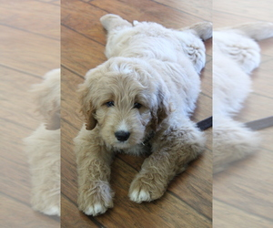 English Cream Golden Retriever-Poodle (Standard) Mix Dog Breeder near ROUGEMONT, NC, USA