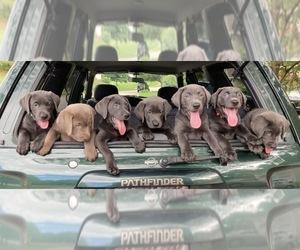 Labrador Retriever Dog Breeder in HOLLY SPRINGS,  USA