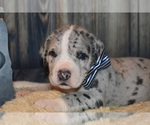Great Dane Breeder in CEDAR HILL, TN, USA