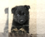 German Shepherd Dog Breeder in LAS VEGAS, NV, USA