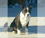 American Pit Bull Terrier Breeder in PASCO, WA, USA