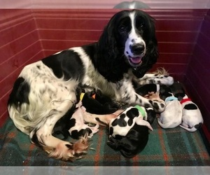 Main photo of Russian Spaniel Dog Breeder near HOUSTON, TX, USA