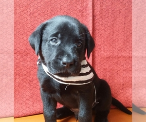 Labrador Retriever Breeder in HAZEL GREEN, AL