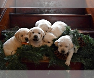 Labrador Retriever Dog Breeder in PARMA,  USA