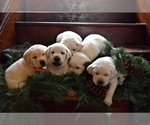 Labrador Retriever Breeder in PARMA, ID, USA