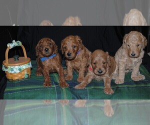 Irish Doodle Dog Breeder near BLOOMINGTON, IL, USA